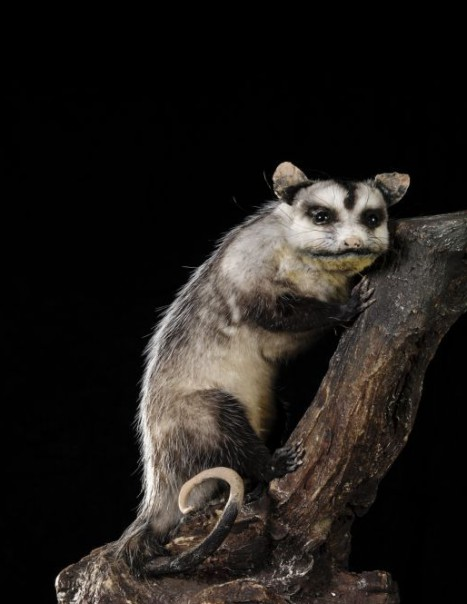 Opossum de Virginie