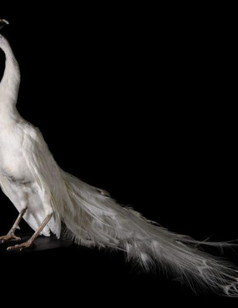 paon-blanc