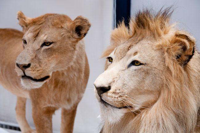15 Lion - Lionne
