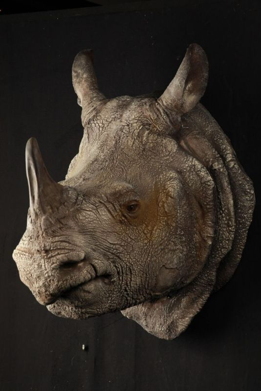 Cape de Rhino de Java 1