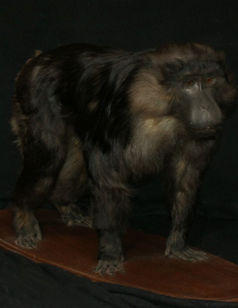 Macaque maure – Macaca maura