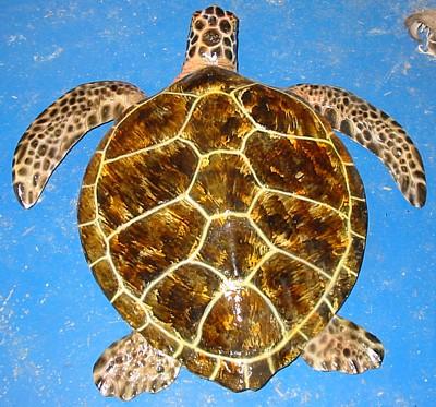 Green sea turtle - Pol...
