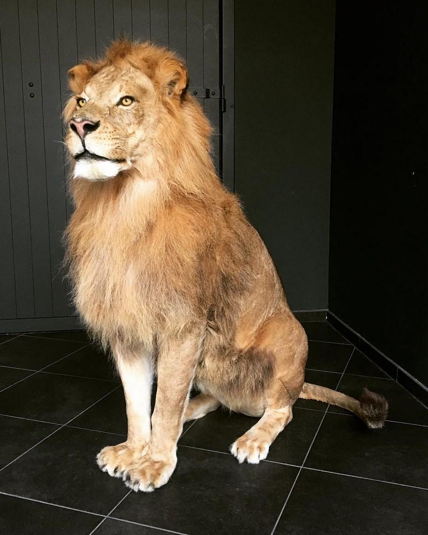 2011 lion