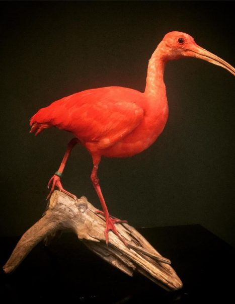 2569 ibis rouge