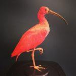 2586 ibis rouge