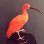 2587 ibis rouge