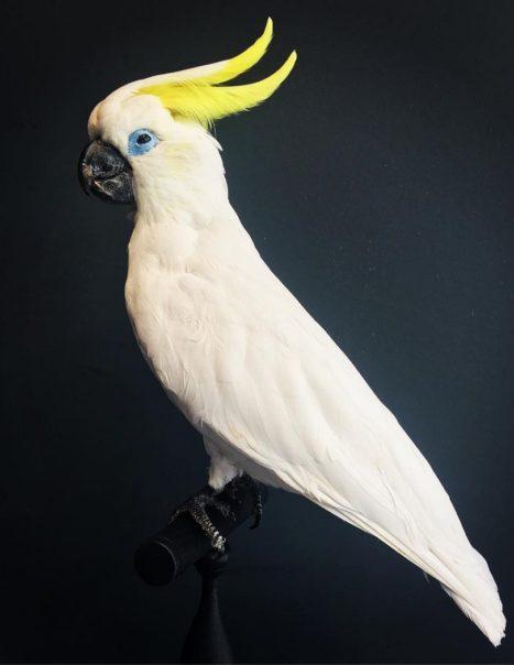 2588 cacatoès à huppe jaune