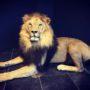 2476 lion à crinière